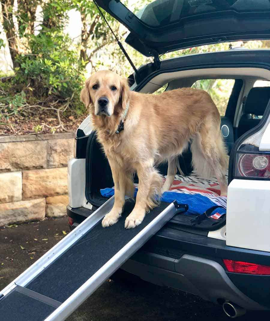 Dozer the golden retriever ramp for car